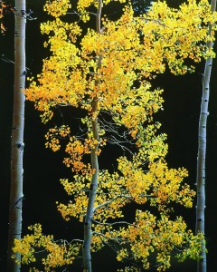 Graceful Aspen, Colorado by Christopher Burkett